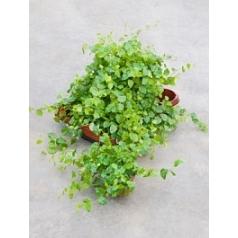 Фикус repens green sunny 1 hanger Диаметр горшка — 10.5 см Высота растения — 20 см