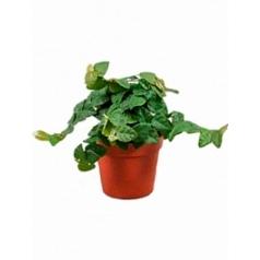Фикус repens green sunny 1 hanger Диаметр горшка — 8.5 см Высота растения — 15 см