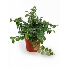 Фикус repens white sunny 1 hanger Диаметр горшка — 8.5 см Высота растения — 15 см