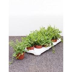 Фикус repens white sunny 1 hanger Диаметр горшка — 10.5 см Высота растения — 20 см