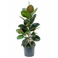 Фикус robusta 1pp Диаметр горшка — 29 см Высота растения — 110 см