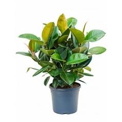 Фикус robusta bush Диаметр горшка — 31 см Высота растения — 80 см