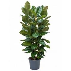 Фикус robusta tuft Диаметр горшка — 35 см Высота растения — 150 см