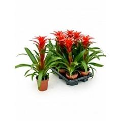 Гузмания calypso red Диаметр горшка — 12 см Высота растения — 45 см