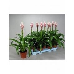 Гузмания cy pink white Диаметр горшка — 13 см Высота растения — 55 см