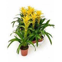 Гузмания hilda yellow Диаметр горшка — 13 см Высота растения — 55 см