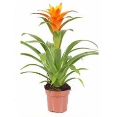 Гузмания jive orange Диаметр горшка — 12 см Высота растения — 45 см