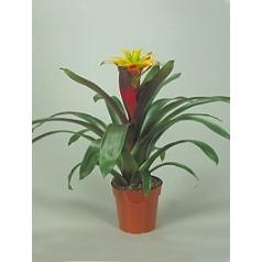 Гузмания soledo yellow Диаметр горшка — 13 см Высота растения — 45 см