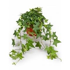 Плющ helix pittsburgh hanger groen Диаметр горшка — 13 см Высота растения — 20 см