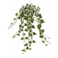 Плющ helix white wonder hanger Диаметр горшка — 13 см Высота растения — 20 см