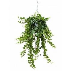 Плющ helix wonder hanger green Диаметр горшка — 17 см Высота растения — 70 см
