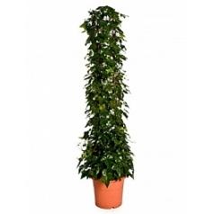 Плющ montgommery column Диаметр горшка — 29 см Высота растения — 150 см