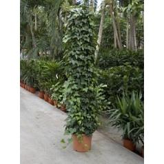 Плющ montgommery column Диаметр горшка — 40 см Высота растения — 220 см