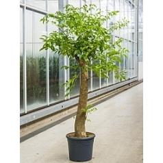 Гетеропанакс зонтикоцветный chinensis branched Диаметр горшка — 31 см Высота растения — 140 см