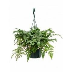 Хумата teyermanii hanger Диаметр горшка — 18 см Высота растения — 35 см
