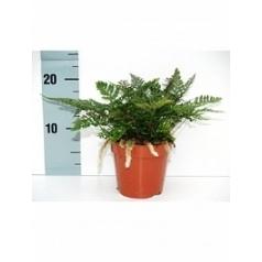 Хумата tyermannii 1 Диаметр горшка — 8.5 см Высота растения — 15 см
