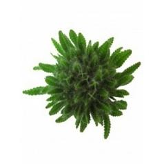 Гилоцереус undatus Диаметр горшка — 10.5 см Высота растения — 15 см