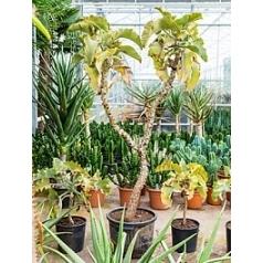 Каланхое beharensis (200-225) stem Диаметр горшка — 45 см Высота растения — 200 см