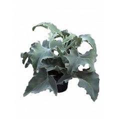 Каланхое beharensis bush Диаметр горшка — 19 см Высота растения — 55 см