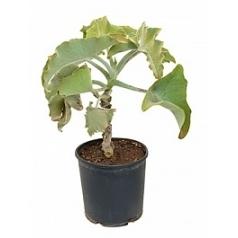 Каланхое beharensis stem Диаметр горшка — 30 см Высота растения — 90 см