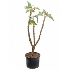 Каланхое beharensis stem Диаметр горшка — 38 см Высота растения — 150 см