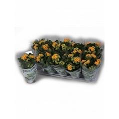 Каланхое blossfeldiana orange Диаметр горшка — 10.5 см Высота растения — 15 см