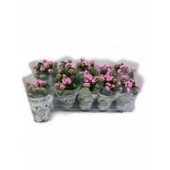 Каланхое blossfeldiana pink Диаметр горшка — 10.5 см Высота растения — 15 см