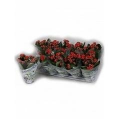 Каланхое blossfeldiana red Диаметр горшка — 10.5 см Высота растения — 15 см