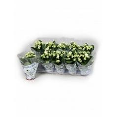 Каланхое blossfeldiana white Диаметр горшка — 10.5 см Высота растения — 15 см