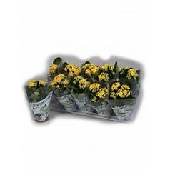 Каланхое blossfeldiana yellow Диаметр горшка — 10.5 см Высота растения — 15 см