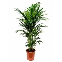 Ховея forsteriana 10pp Диаметр горшка — 27 см Высота растения — 150 см