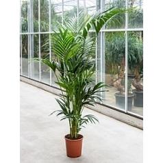 Ховея forsteriana 10pp Диаметр горшка — 27 см Высота растения — 200 см