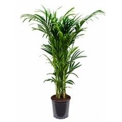 Ховея forsteriana 12pp Диаметр горшка — 30 см Высота растения — 160 см