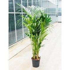 Ховея forsteriana 12pp Диаметр горшка — 30 см Высота растения — 200 см