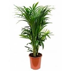 Ховея forsteriana 14pp Диаметр горшка — 27 см Высота растения — 120 см