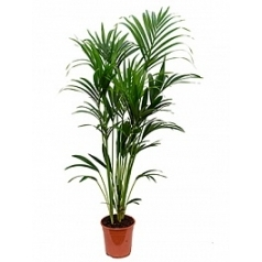 Ховея forsteriana 6pp Диаметр горшка — 24 см Высота растения — 160 см