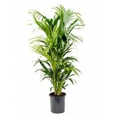 Ховея forsteriana 6pp Диаметр горшка — 24 см Высота растения — 140 см