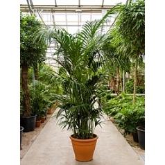 Ховея forsteriana bush extra 10/12pp Диаметр горшка — 60 см Высота растения — 300 см