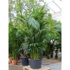 Ховея forsteriana bush extra 15/20pp Диаметр горшка — 70 см Высота растения — 330 см
