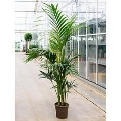 Ховея forsteriana bush extra 5/6pp Диаметр горшка — 28 см Высота растения — 200 см