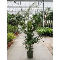 Ховея forsteriana bush extra 7/8pp Диаметр горшка — 30 см Высота растения — 240 см