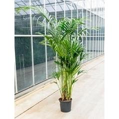 Ховея fosteriana 12pp Диаметр горшка — 32 см Высота растения — 250 см