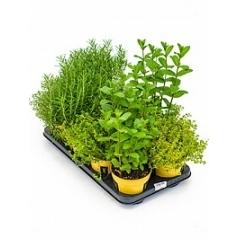 Набор зелени mix Диаметр горшка — 14 см Высота растения — 45 см