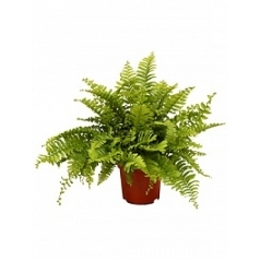 Нефролепсис boston Диаметр горшка — 12 см Высота растения — 30 см