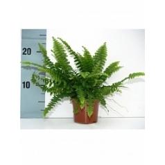 Нефролепсис green lady 1 Диаметр горшка — 9 см Высота растения — 20 см