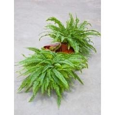 Нефролепсис green lady Диаметр горшка — 17 см Высота растения — 50 см