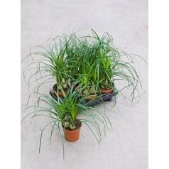 Нолина recurvata 3pp Диаметр горшка — 12 см Высота растения — 45 см