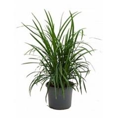 Змеебородник japonica bush Диаметр горшка — 19 см Высота растения — 30 см