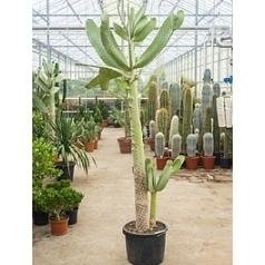 Опунция consolea branched (250-270) Диаметр горшка — 40 см Высота растения — 250 см