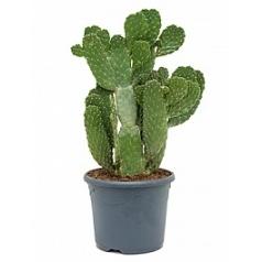 Опунция consolea branched Диаметр горшка — 26 см Высота растения — 70 см